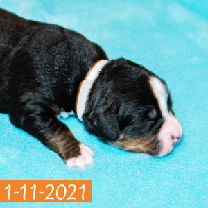 """Morgana"" - Bernese Mountain Dog Puppy (Female)"