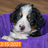 """Pendragon"" - Bernese Mountain Dog Puppy (Male)"