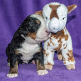 Pendragon the Male Bernese Mountain Dog Puppy Camelot January With Stuffed Animal Baby Goat Toy