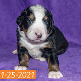 Pendragon Bernese Mountain Dog January Camelot Litter Male Puppy