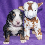 Pendragon a Male Bernese Mountain Dog Puppy Camelot January With Stuffed Animal Baby Goat Toy
