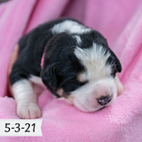 Moira - Great Bernese Puppy (Female)