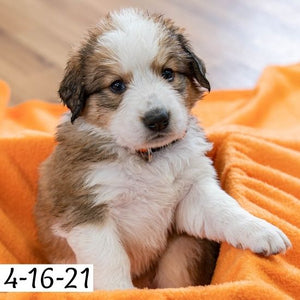 """Holly"" - Great Bernese Puppy (Female)"