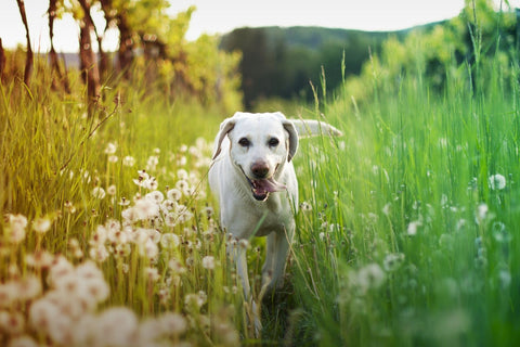 Dog running in field of grass and flowers