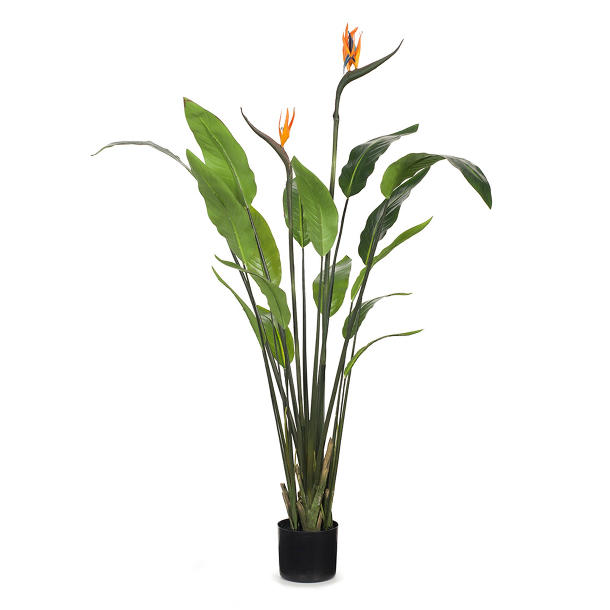 Floral Interiors, This beautiful Bird of Paradise plant comes premade in a plastic pot ready to be placed in a pot of your own choice. 120 cm height. Suitable for indoor use only.