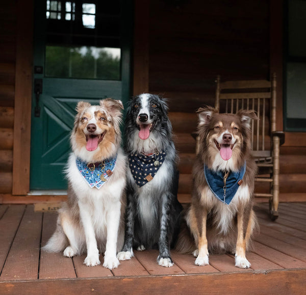 Australian Shepherds - Juno, Rory, and Oakley