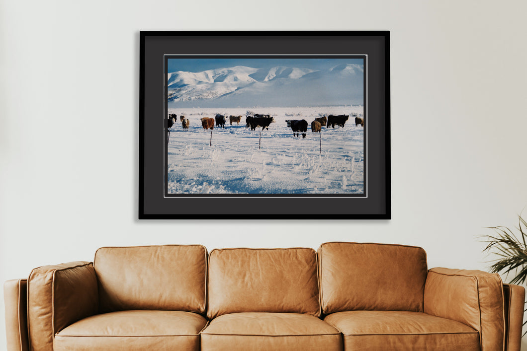 Winter Cows - SMA029