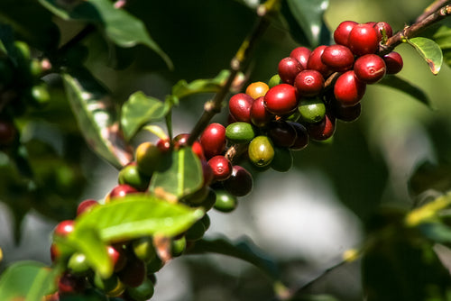 Maui-Upcountry-Coffee.beans.grow