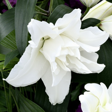 Load image into Gallery viewer, Rose Lily Monica Your Garden Specialist