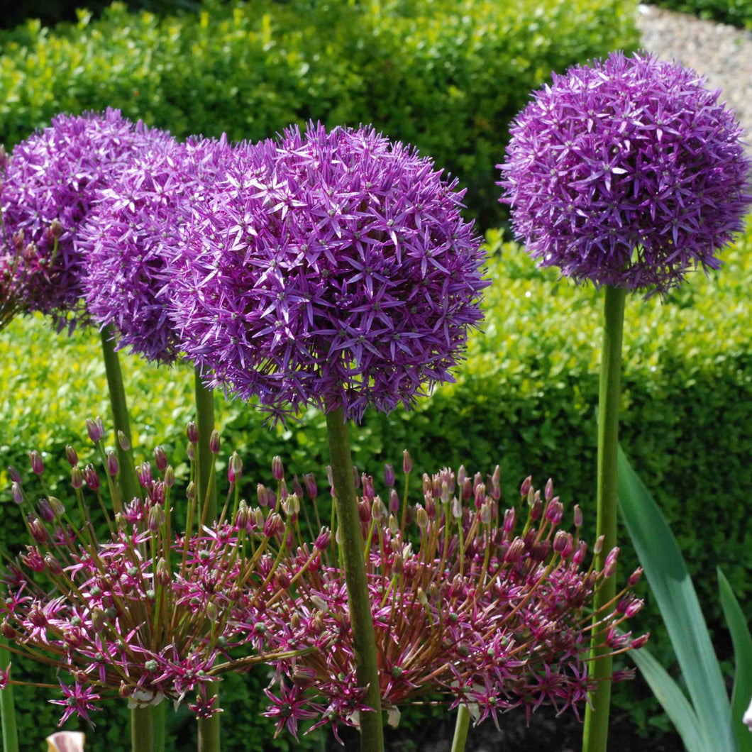 Allium Globemaster Your Garden Specialist