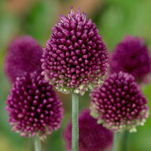 Load image into Gallery viewer, Allium Sphaerocephalon (Drumsticks)
