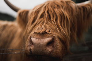 Scotland Stickers - Highland coos