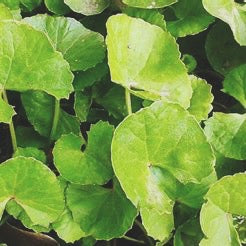 COGNITIVE SUPPORT/ brahmi and gotu kola