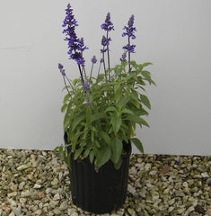 Mealy Blue Sage in a one gallon container.