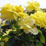 'GRANDMA'S YELLOW' ROSE