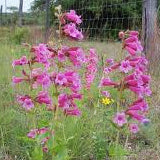 HILL COUNTRY PENSTEMON