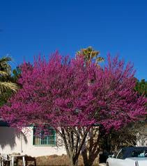 MEXICAN REDBUD