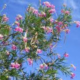 DESERT WILLOW 'BUBBA'