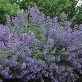 CATMINT 'WALKER'S LOW'