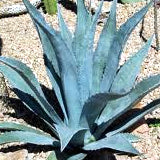 AGAVE, CENTURY PLANT