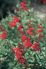 PENSTEMON SAGE