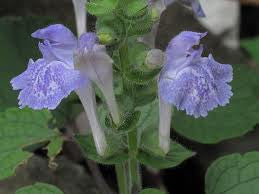 HEARTLEAF SKULLCAP