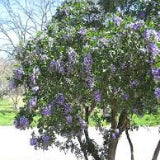 TEXAS MOUNTAIN LAUREL