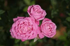 'OLD BLUSH' ROSE