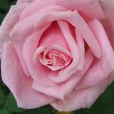 'BELINDA'S DREAM' ROSE