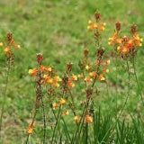 BULBINE, ORANGE