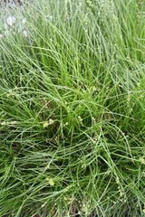 TEXAS SEDGE