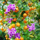 DURANTA SKYFLOWER