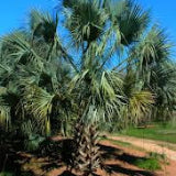 TEXAS SABAL PALM