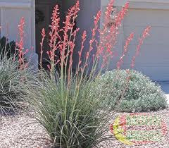 YUCCA, RED