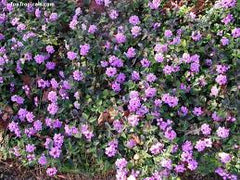 LANTANA, PURPLE TRAILING