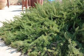 ROSEMARY, PROSTRATE