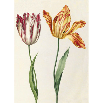 Greeting card - Two 'broken' tulips by Nicolas Robert. One white and dark pink, with petals almost closed, the other yellow and red, with petals falling open. From the Broughton collection of The Fitzwilliam Museum, brought to you by CuratingCambridge.com