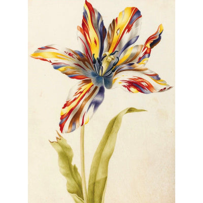 Greeting card - A Multicoloured Broken Tulip by Nicolas Robert. Red, yellow and white striped tulip and stem against a white background. From the collection of The Fitzwilliam Museum, brought to you by CuratingCambridge.com