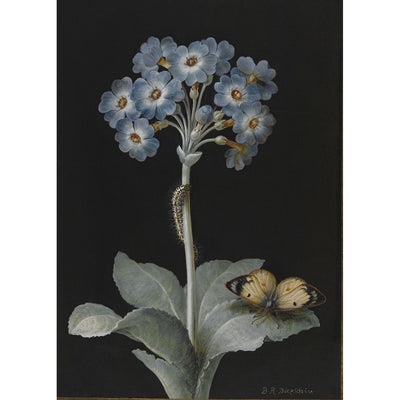 Greeting card - Blue primula auricula, with patterned caterpillar on the stem and pale clouded yellow butterfly on a leaf. Black background. From the collection of The Fitzwilliam Museum, brought to you by CuratingCambridge.com