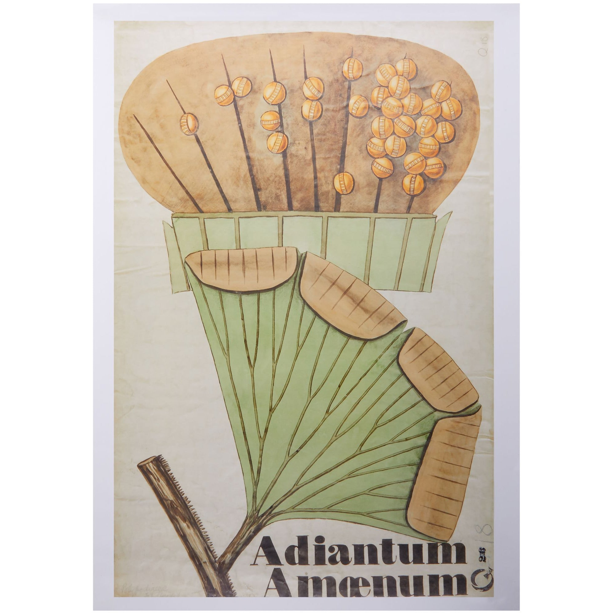 Featured image for the project: Henslow's Adiantum amoenum - A2 poster