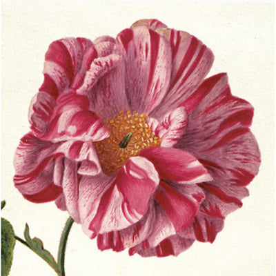 Greeting card - Provins Rose by Pieter Withoos. Variegated rose in shades of pink. From the botanical art collection of The Fitzwilliam Museum, brought to you by CuratingCambridge.com