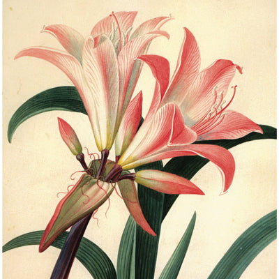 Square greeting card - Amaryllis Belladonna/Belladonna lily by Georg Dionysius Ehret. Close up study of lily flower in shades of white/pink/peach. From the Broughton Collection of The Fitzwilliam Museum, brought to you by CuratingCambridge.com