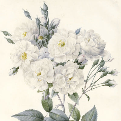 Square greeting card - botanical watercolour illustration of a bunch of white, many petalled noisette roses with yellow centres. Against an off-white background. From the Broughton Collection of The Fitzwilliam Museum, brought to you by CuratingCambridge.com