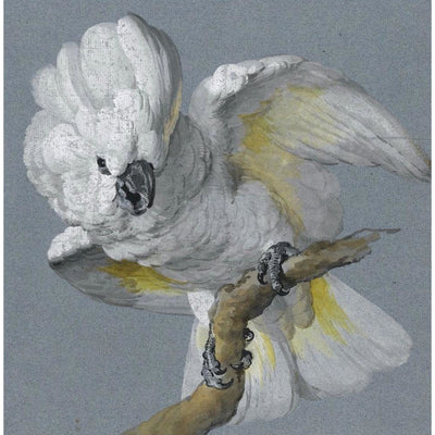 Greeting card - Great White-crested cockatoo by Aert Schouman, white cockatoo with yellow feather highlights seated on a branch. From the collection of The Fitzwilliam Museum, brought to you by CuratingCambridge.com