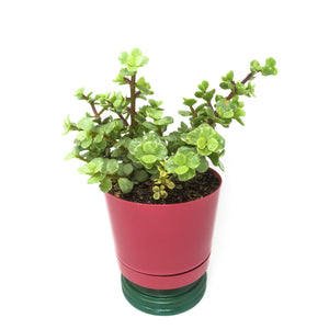 "6"" Round Burgandy Pot with Succulent"