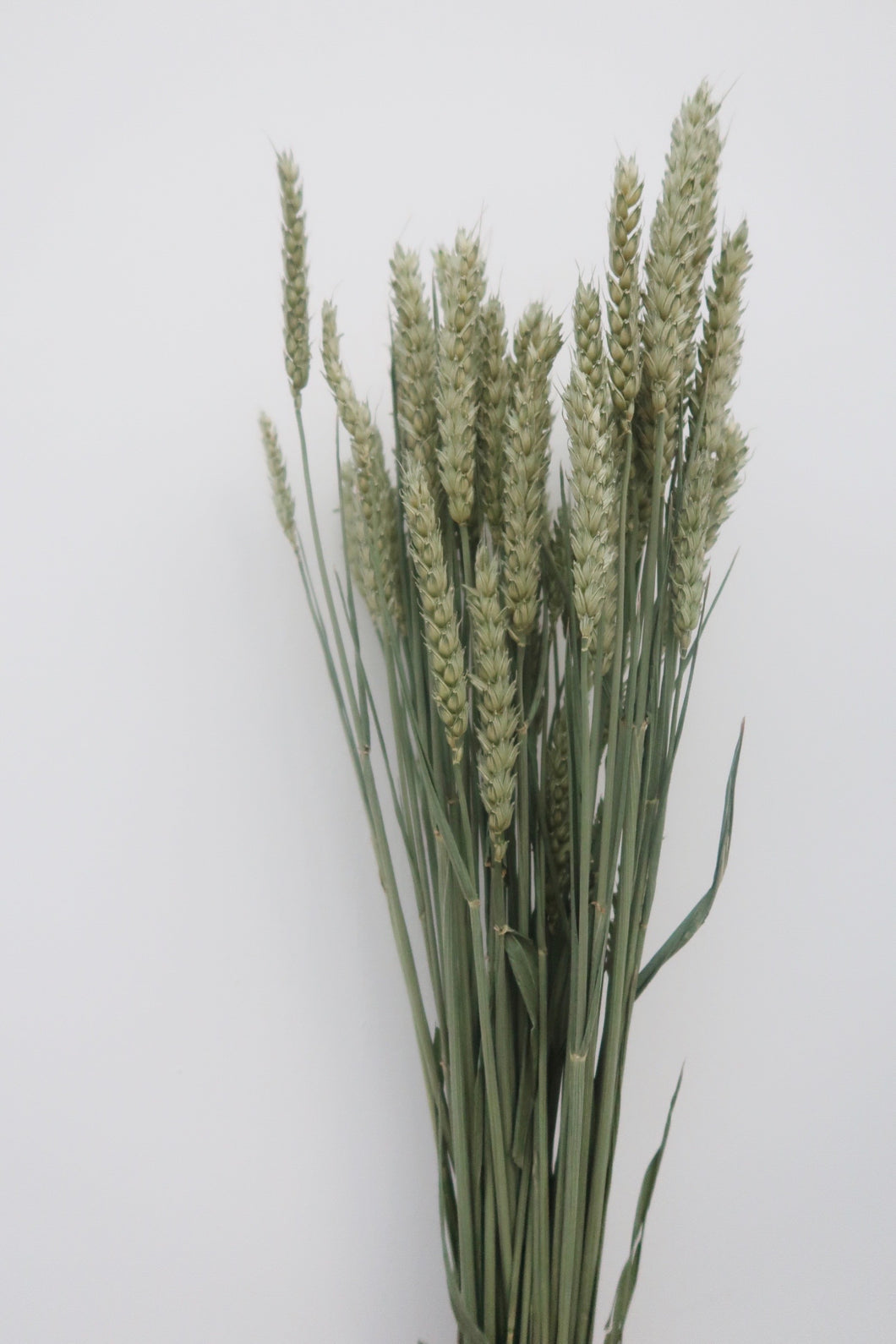 Forest Green Wheat