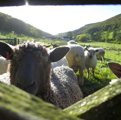 Ystrad Organic Sheep Farm