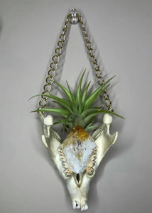Mandible Air Plant Hangers