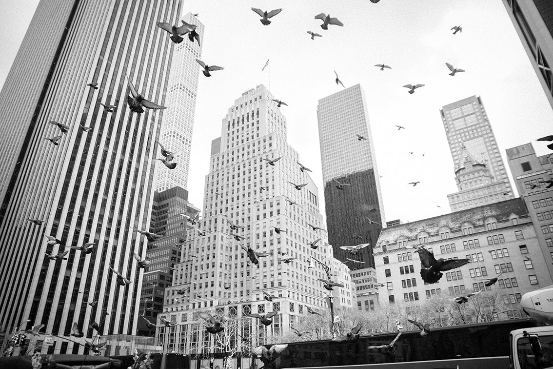 Pigeons around New York - to Rent