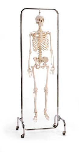 Deluxe Skeleton Reproduction